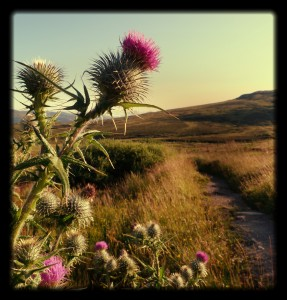 Thistle at Ben Lawers